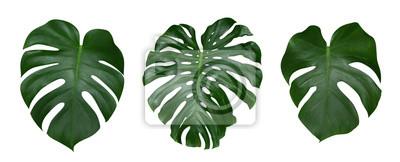 Sticker Monstera Pflanze Blätter, die tropische immergrüne Reben isoliert auf weißem Hintergrund, Clipping-Pfad enthalten