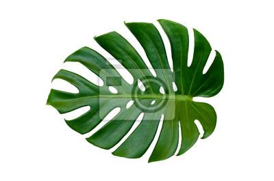 Sticker Monstera verlässt Blätter mit Isolat auf weißem Hintergrund Blätter auf weiß