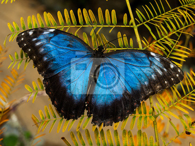 Sticker Morpho-Schmetterling
