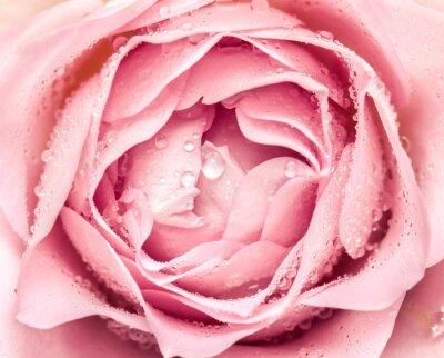 Sticker Nahaufnahme der frischen rosafarbenen Blume
