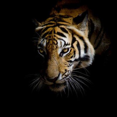 Sticker Nahaufnahme Gesicht Tiger auf schwarzem Hintergrund isoliert