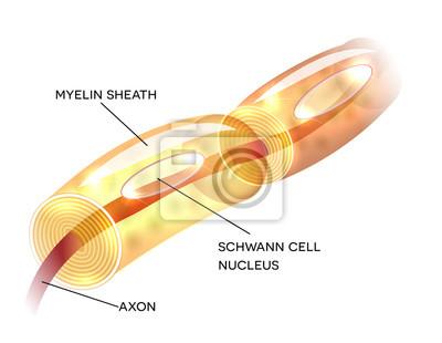 Neuron, nervenzellaxon und myelinscheide substanz, die das axon ...