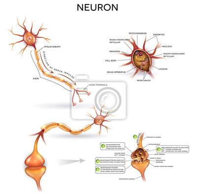 Neuron, nervenzelle, close up illustrationen gesetzt. synapse ...
