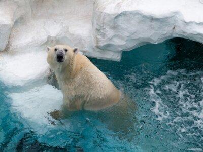Sticker Nördlicher Eisbär