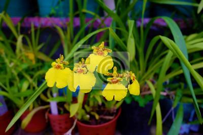 Oncidium. Gelbe Orchidee