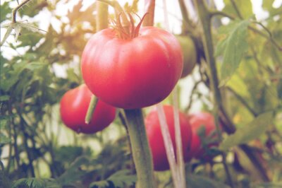 Organische Tomaten pflanzen einen natürlichen Hintergrund