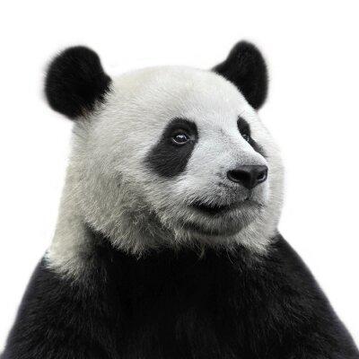 Sticker Panda-Bär auf weißem Hintergrund isoliert