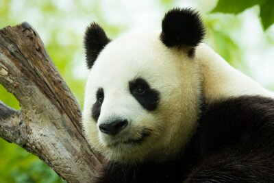 Sticker Panda schläft