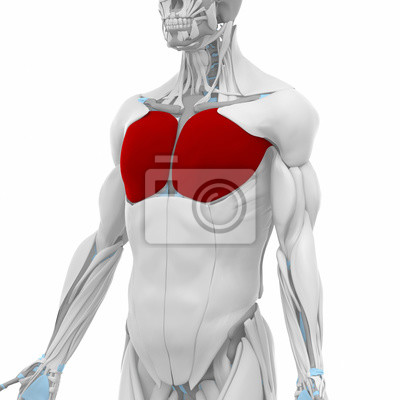Pectoralis major - muscles anatomy map notebook-sticker ...