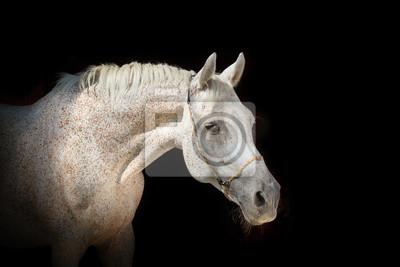 Pferd auf dem schwarzen Hintergrund