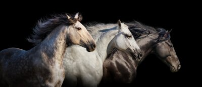 Pferd Herde Porträt laufen Galopp auf schwarzem Hintergrund isoliert