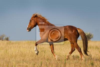 Pferd laufen