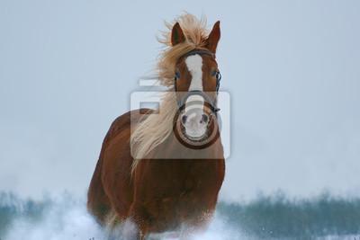 Pferd Porträt im Galopp