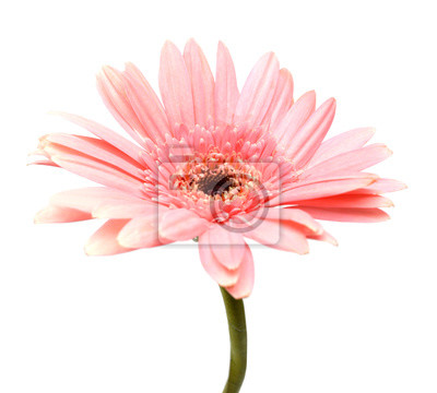 Pink gerber isolated on white background