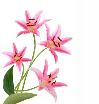 pink lily flowers. Isolated on white background