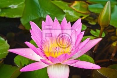 Pink Lotus blüht im Kanal