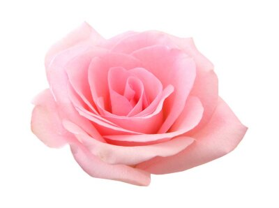 Pink Rose Flower Isolated on White Background. Top View on Beautiful Pink Rose Flower