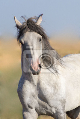 Portarait grauen Pferd in Bewegung