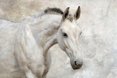 Portrait der schönen weißen Pferd gegen die Wand