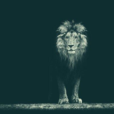 Sticker Portrait eines schönen Löwes, Löwe im Dunkeln