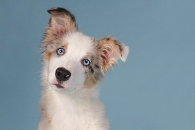 Portrait of a blue merle border collie puppy with blue eyes