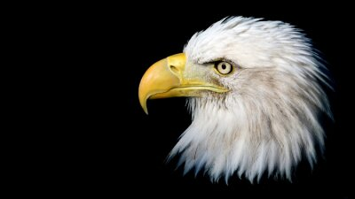 Sticker Portrait of an American bald eagle against a black background with room for text