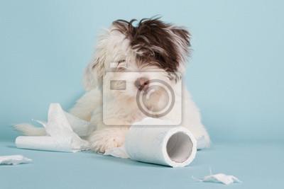 Porträt einer Boomer Welpen mit WC-Papier