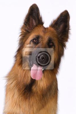 Porträt einer langen Haaren Deutscher Schäferhund