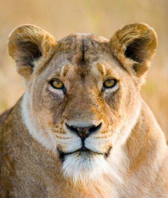 Sticker Porträt einer Löwin. Nahansicht. Kenia. Tansania. Maasai Mara. Serengeti Eine ausgezeichnete Illustration.