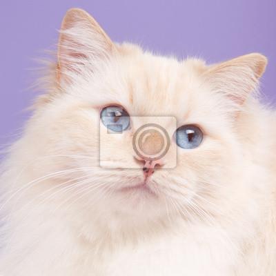 Porträt einer ragdoll cat