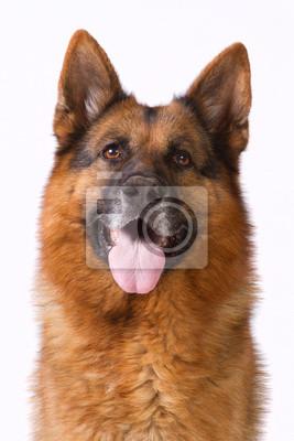 Porträt eines Schäferhund