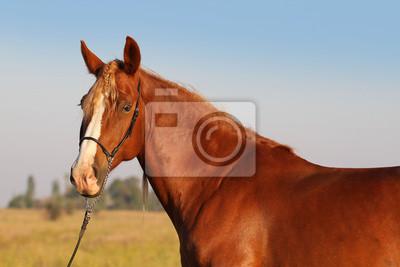 Porträt von einem roten Pferd mit weißer Blesse