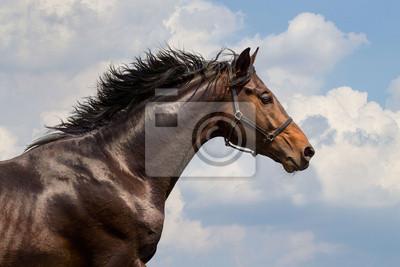 Porträt von galoppierenden Pferd