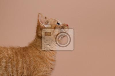 Profil eines roten Kätzchen