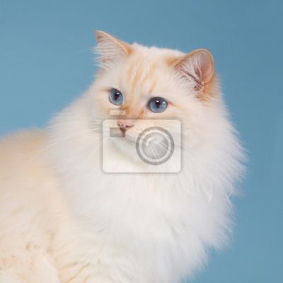 Ragdoll mit blauem Hintergrund
