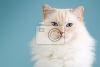 Ragdoll Porträt mit blauem Hintergrund