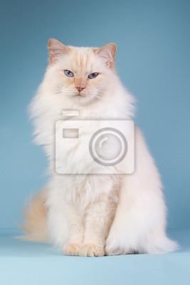 Ragdoll sitzt auf einem blauen Hintergrund