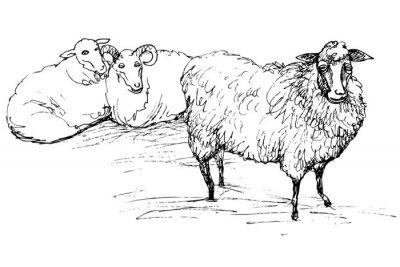 Sticker Ram und Schaf