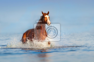 Red beautiful stallion run gallop in water with splash