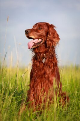 Sticker Red Irish Setter Hund