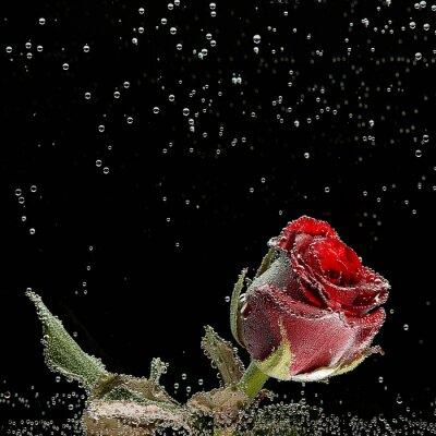 Sticker Red Rose in Tautropfen auf einem schwarzen Hintergrund