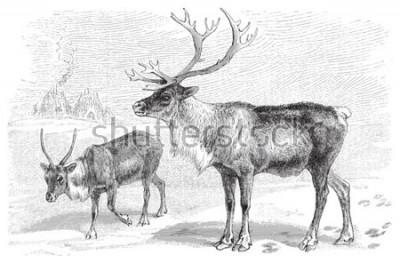 Sticker Reindeer (Rangifer tarandus) / vintage illustration from Meyers Konversations-Lexikon 1897