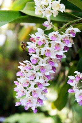Sticker Rhynchostylis Orchidee.