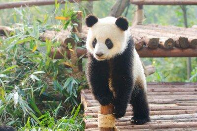 Sticker Riesenpanda neugierig stehend, Chengdu, Szechuan, China