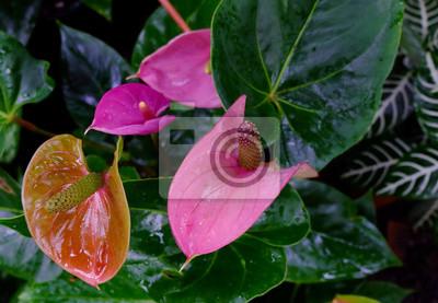Rosa Anthurium. Heimpflanze