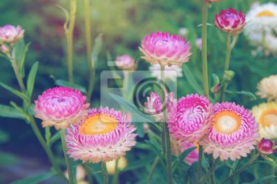 Rosa Blüten von Helichrysum auf einem Hintergrund von Laub