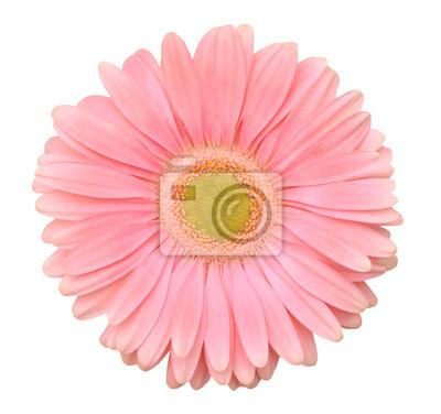 Rosa Gerberablume. Getrennt auf weißem Hintergrund