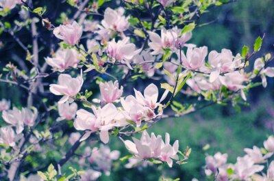 Sticker Rosa Magnolienblüten als eine schöne floral Frühjahr Hintergrund (shallow DOF, Retro-Stil)