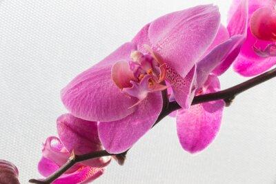 Sticker Rosa Orchidee / Blume auf den weißen Hintergründen isoliert