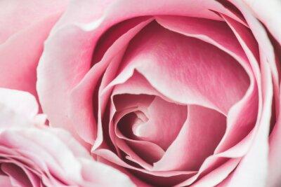 Sticker Rosa Rose Blume mit flachen Schärfentiefe und Fokus der Mitte der Rose Blume